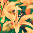 Lilies — Stock Photo #1810568