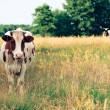 Cow on meadow - Lizenzfreies Foto