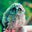 Little owl — Stock Photo #1811936