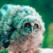 Stock Photo: Little owl