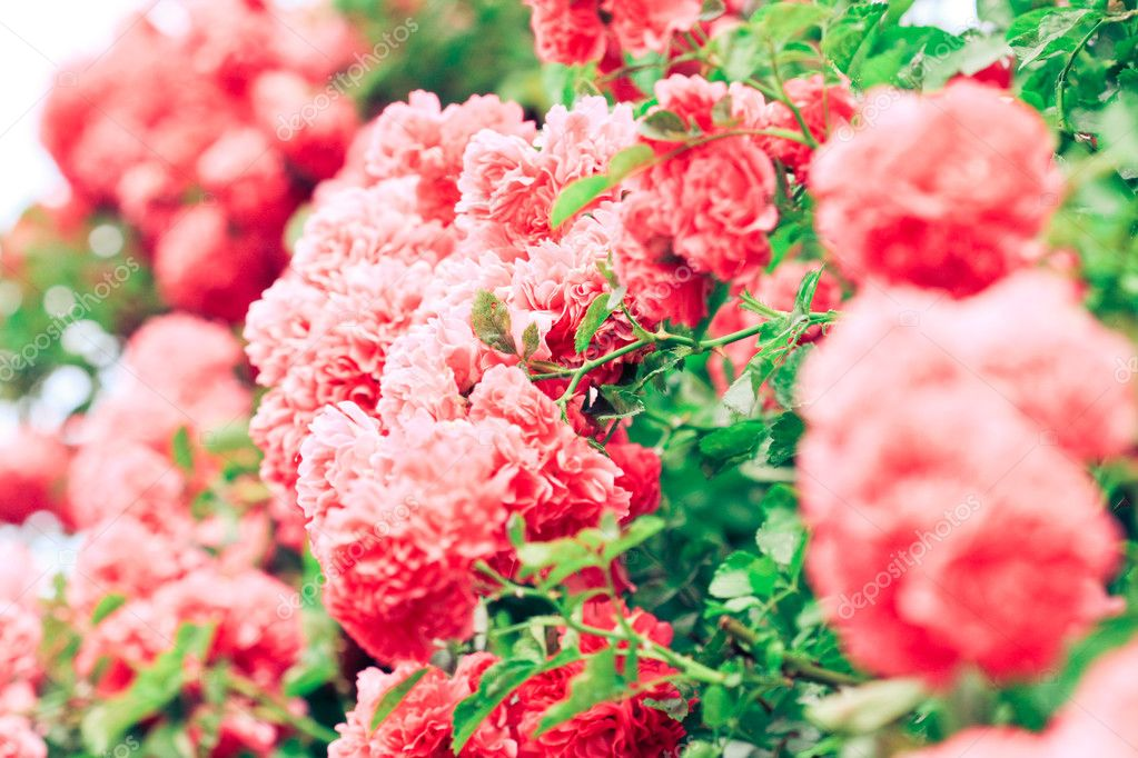 Pink flowers — Stock Photo #1810380
