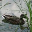 Floating duck — Stockfoto
