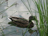 Floating duck — Photo