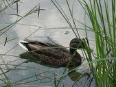 Pato flotante — Foto de Stock