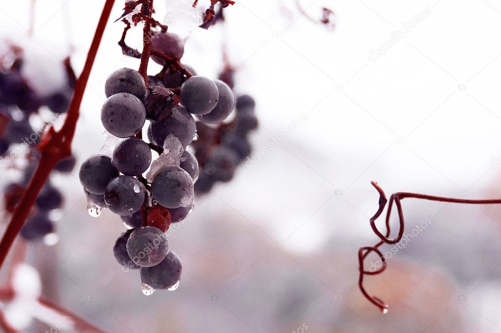 Freez bunch of grapes at winter, DOF is shalow — Stock Photo #1971436