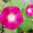 Bindweed - Stock Photo