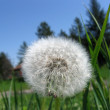 Dandelion in grass — Stock Photo #1850976