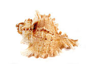 Decorative seashell — Stock Photo