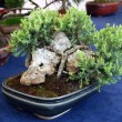 Bonsai tree — Stock fotografie