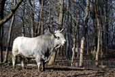 White strong bull — Stock Photo