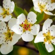 Spring flower — Stock Photo #2457207