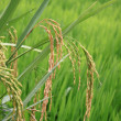 basmati rice paddy — Stock Photo