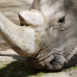 Rhinoceros closeup eating — Stock Photo