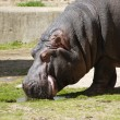 Hippopotamus eating on sunshine — Stock Photo #2148240