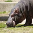Hippopotamus eating on sunshine - Stock Photo