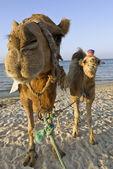 Camel — Stockfoto