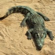 Stock Photo: Large crocodile resting in sun