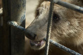 Brown bear in captivity — Stock Photo