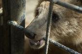 Brown bear in captivity — Stock Photo