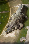 Large crocodile resting in the sun — Foto de Stock