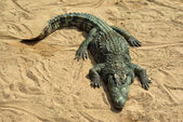 Grand crocodile au repos au soleil — Photo