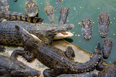 Crocodiles eating each other — Stock Photo