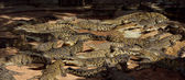 Big crocodiles in the water. Panoramic — Stock Photo