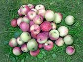Apples harvest — Stock Photo
