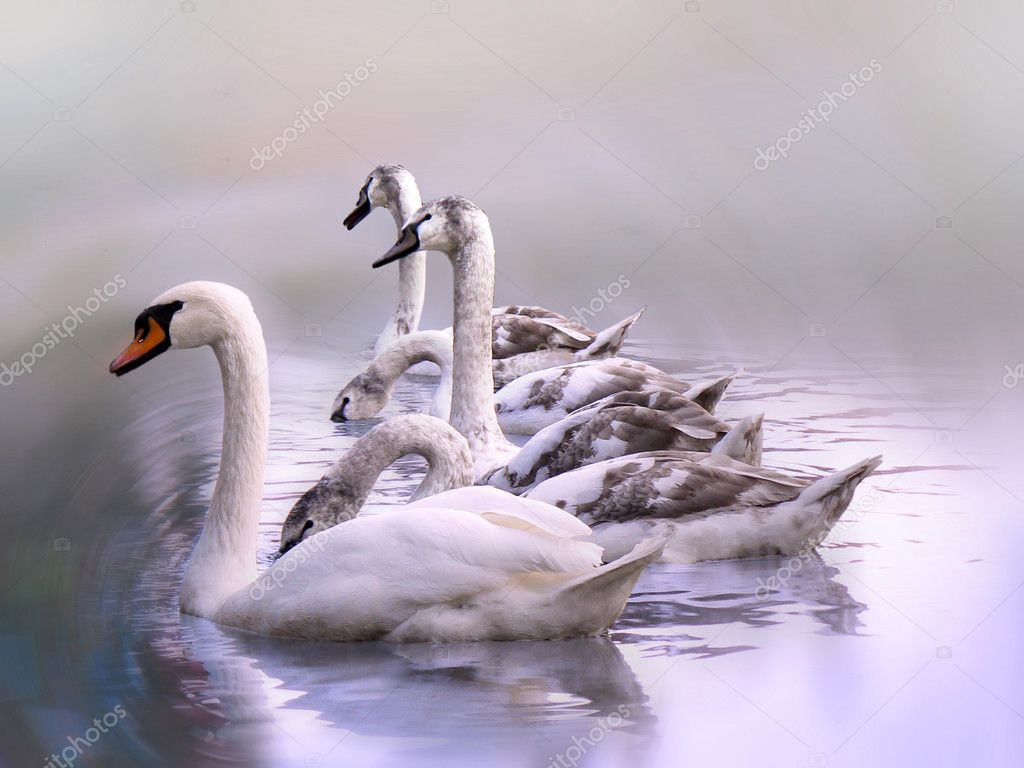 White swan and group of young swans floating on water — Stock Photo #1687770