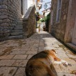 Adriatic dog — Photo