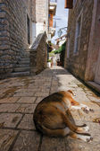 Adriatic dog — Stock Photo