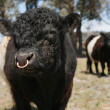 Stock Photo: Miniature Bull