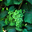 White Wine Grapes — Stock Photo #1766474