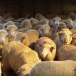 Merino Sheep — Stock Photo #1766694