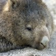 Tasmanian Wombat — Stock Photo