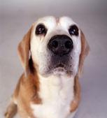 Beagle Sniffer Dog — Stock Photo