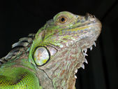 Green Iguana Lizard — Stock Photo
