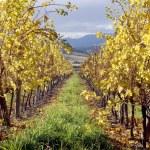 Autumn Vineyard — Stock Photo #1823588