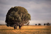 Tree in Paddock — Stock Photo