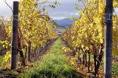 Autumn Vineyard — Stock Photo