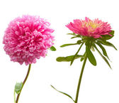 Red aster — Stock Photo