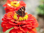 Butterfly on the red flower — Stock Photo