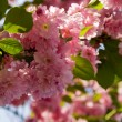 Cherry blossom — Stock Photo #1782185