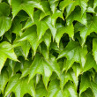 Boston ivy background — Photo