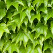 Boston ivy background — Stock Photo