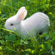 Royalty-Free Stock Photo: Small white rabbit