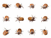 Tick (Ixodes ricinus) close up — Stock Photo