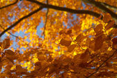 Jesienne drzewo buk 3 — Zdjęcie stockowe
