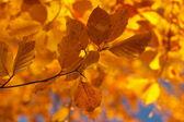 Jesienne drzewo bukowe 5 — Zdjęcie stockowe