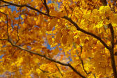 Autumn beech tree — Stock Photo